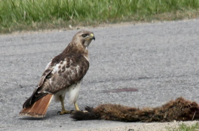 Name:  May 10th Redtail_3c.jpg Views: 36 Size:  56.6 KB